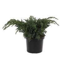 Arbust decorativ Juniperus Squamata blue swede, H 35 cm, D 19 cm