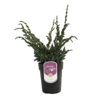 Arbust decorativ Juniperus Squamata Meyerii, D 17 cm