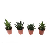 Planta interior - Aloe mix, D 5.5 cm