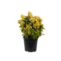 Arbust ornamental - Euonymus aurea, glob, H 30-40 cm