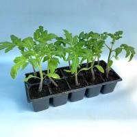 Rasaduri tomate 2554, tavita 10 buc