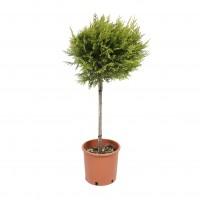 Arbore ornamental Cupressus L gold, minifusto, H 80 - 100 cm