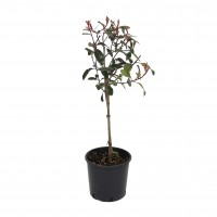 Arbust ornamental Photinia Red Robin Alberelo, H 80 - 100 cm