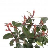 Arbust ornamental Photinia Fraseri Red Robin, H 15 cm, D 17 cm
