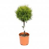 Arbore ornamental Tuia / Thuja compacta nana 2883, H 60 - 80 cm