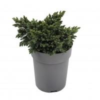 Arbust decorativ Juniperus Squamata blue star, D 19 cm