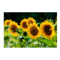 Tablou canvas TA20-M105, Floarea soarelui, panza, 50 x 70 cm