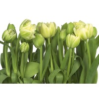 Fototapet hartie Tulips SD900 368 x 254 cm