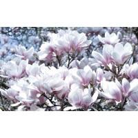 Fototapet duplex Magnolii 1618P8 368 x 254 cm