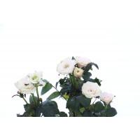 Planta interior Rosa trandafir mix H 30 cm D 13 cm