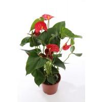 Planta interior Anthurium scherzerianum H 45 cm D 13 cm