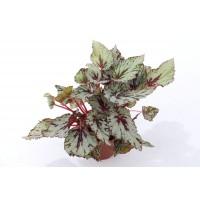 Planta interior - Begonia rex, H 25 cm, D 12 cm