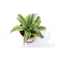 Planta interior - Dracaena dragon mix, H 25 cm, D 12 cm