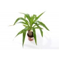 Planta interior  Yucca H 50 cm D 11 cm