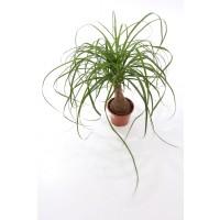 Planta interior - Beaucarnea (picior de elefant), H 45 cm, D 14 cm