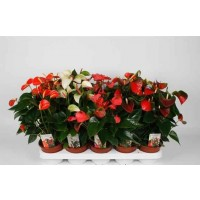 Planta interior Anthurium H 40 cm