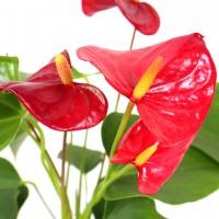 Planta interior, cu flori - Anthurium (floarea flamingo), H 40 cm