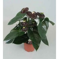 Planta interior Anthurium andreanum Black Queen H 65 cm D 17 cm