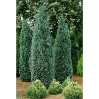 Arbore ornamental Chamaecyparis columnaris balot, H 180 cm