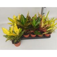 Planta interior - Codiaeum (croton), H 35 cm, D 12 cm