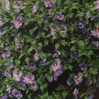 Arbust ornamental Hibiscus syriacus, H 80 - 100 cm, 10 fire