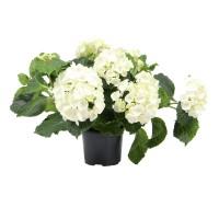 Planta de gradina, hortensie - Hydrangea mix, H 35 cm, D 14 cm