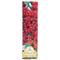 Arbust fructifer - coacaz Yurta