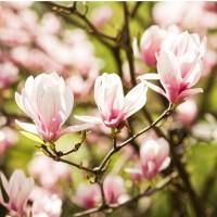 Arbore ornamental - Magnolia mix, H 15 - 25 cm