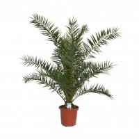 Planta interior - Phoenix canariensis, palmier, H 210 cm, D 30 cm