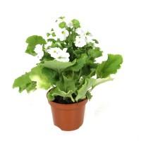 Planta exterior - Primula obcinica, H 25 cm, D 12 cm