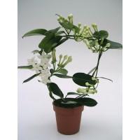 Planta interior Stephanotis floribunda H 40 cm D 12 cm