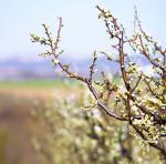 Lucrari de taiere aplicate pomilor fructiferi